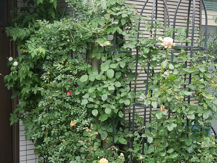 バラに殺菌剤(フルピカ-)と殺虫剤(カウンター)を撒いた。2020-15-1.jpg