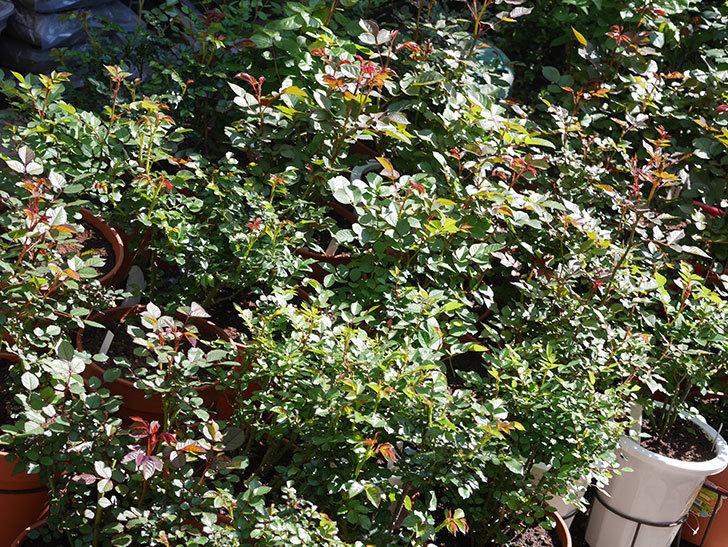 バラに殺菌剤(フルピカ)と殺虫剤(アファーム)を撒いた。2020-04-1.jpg