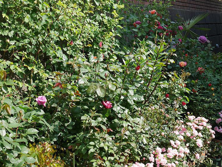 バラに殺菌剤(フルピカ)と殺虫剤(カウンター)を撒いた。2020-08-1.jpg