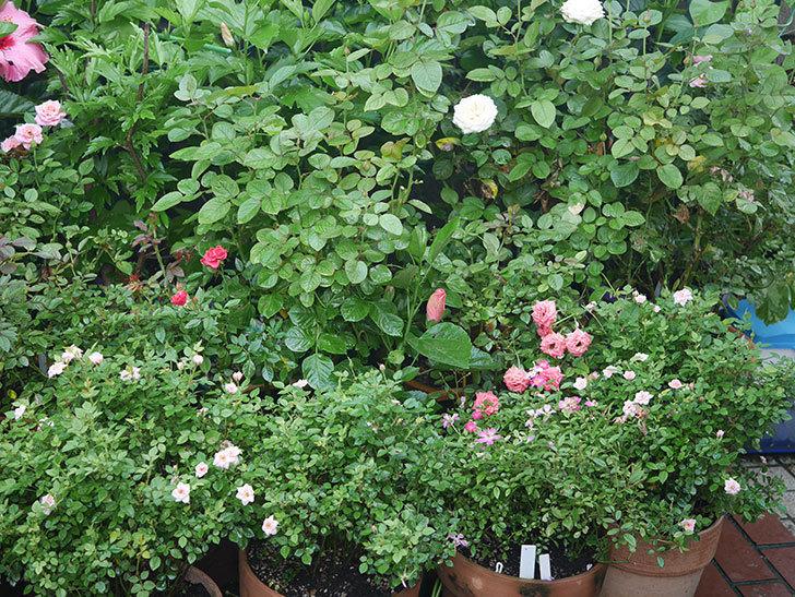 バラに殺菌剤(ラリー)と殺虫剤(スミチオン)を撒いた。2020-17-1.jpg