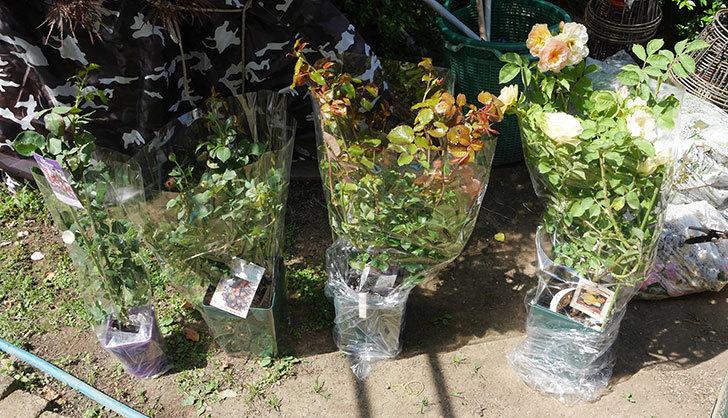 バラの大苗3株と新苗1株を楽天のバラの家で買った。2019年-4.jpg
