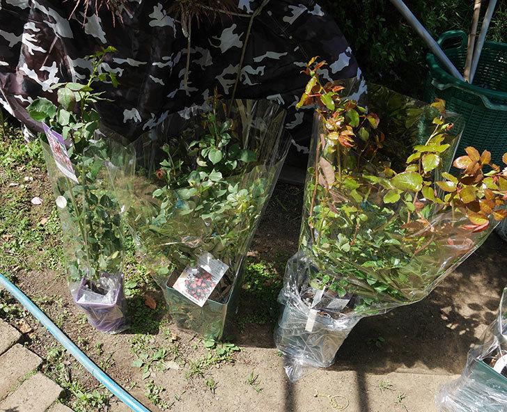 バラの大苗3株と新苗1株を楽天のバラの家で買った。2019年-5.jpg