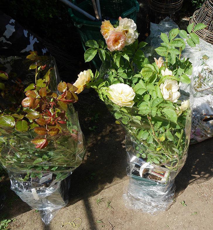 バラの大苗3株と新苗1株を楽天のバラの家で買った。2019年-6.jpg