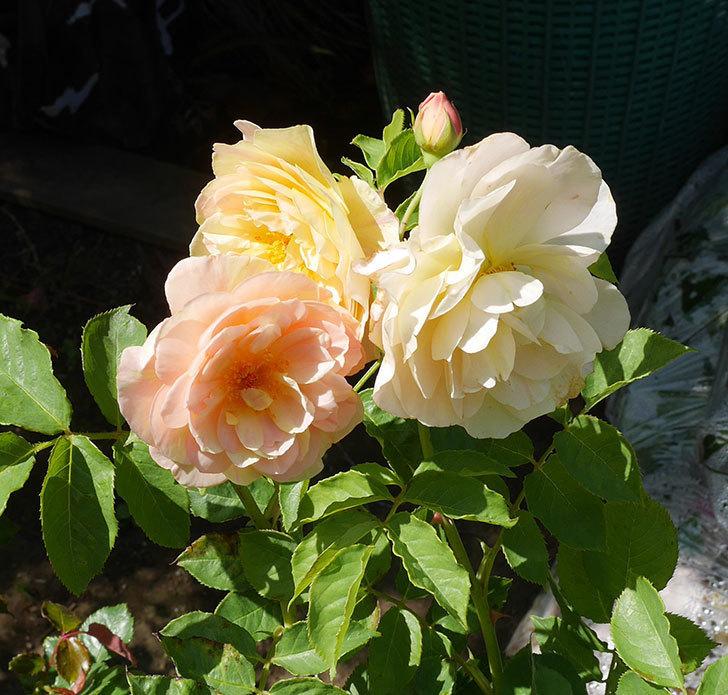バラの大苗3株と新苗1株を楽天のバラの家で買った。2019年-8.jpg