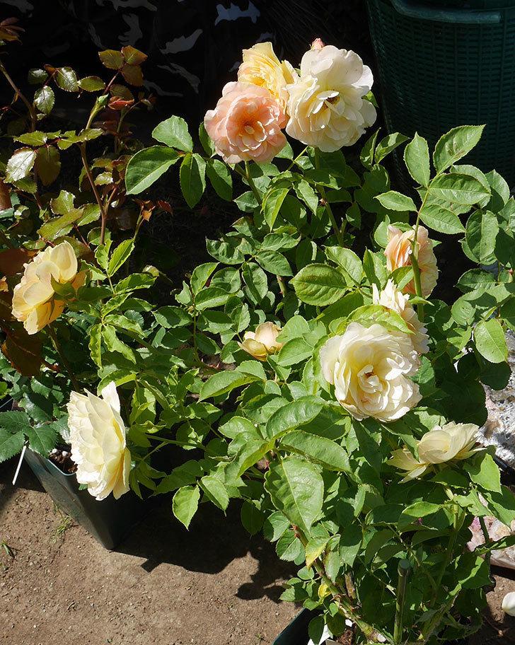バラの大苗3株と新苗1株を楽天のバラの家で買った。2019年-9.jpg