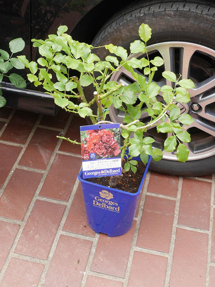 バラの大苗をはなはなショップで3株買った。2021年-004.jpg