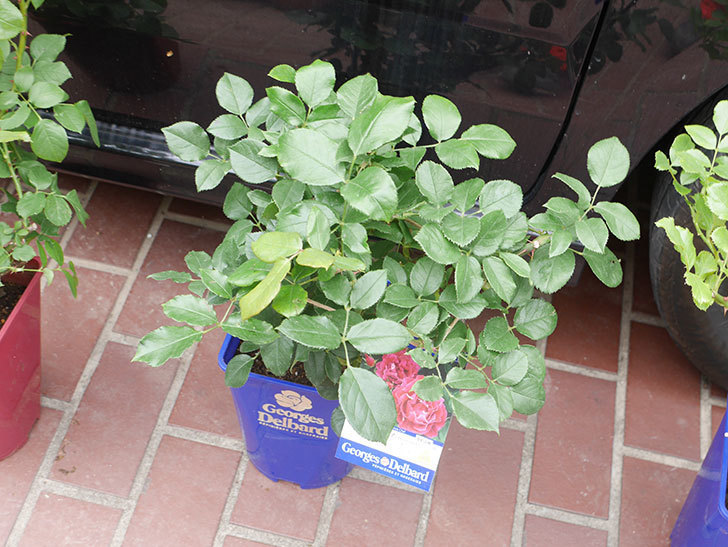バラの大苗をはなはなショップで3株買った。2021年-005.jpg