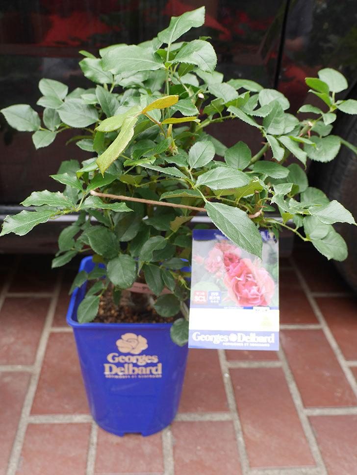 バラの大苗をはなはなショップで3株買った。2021年-006.jpg