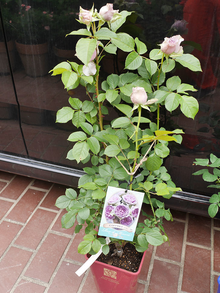 バラの大苗をはなはなショップで3株買った。2021年-007.jpg