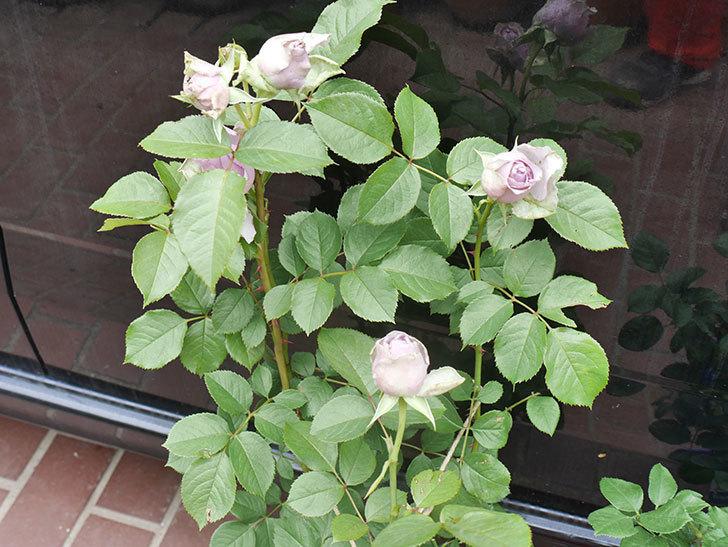 バラの大苗をはなはなショップで3株買った。2021年-008.jpg