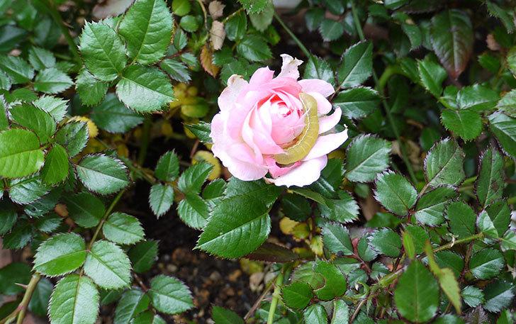 バラの花がイモムシに食われていた1.jpg