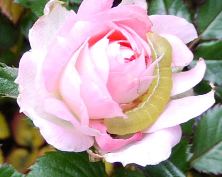 バラの花がイモムシに食われていた3.jpg