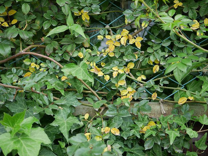 バラの葉が大量に黄色くなってきた。2019年-1.jpg