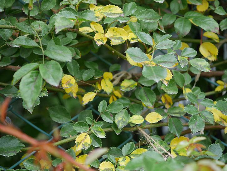 バラの葉が大量に黄色くなってきた。2019年-2.jpg