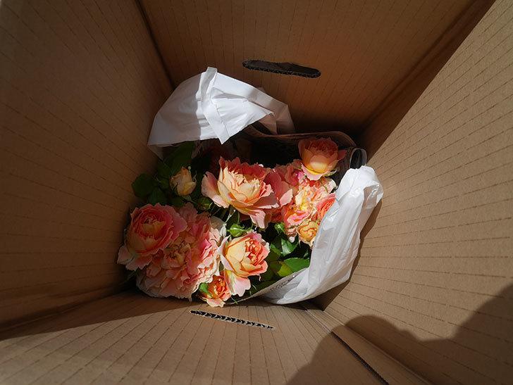 バラの開花苗(鉢植え苗)と大苗(鉢植え苗)をはなはなショップ買った。2020年-004.jpg