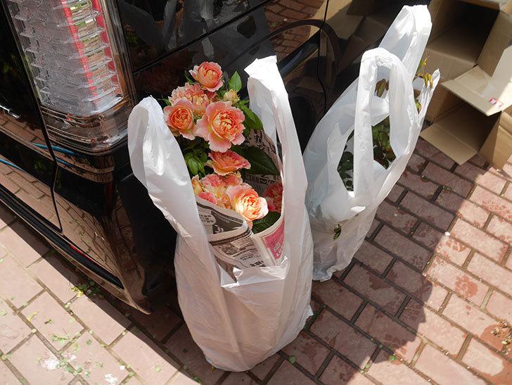バラの開花苗(鉢植え苗)と大苗(鉢植え苗)をはなはなショップ買った。2020年-005.jpg