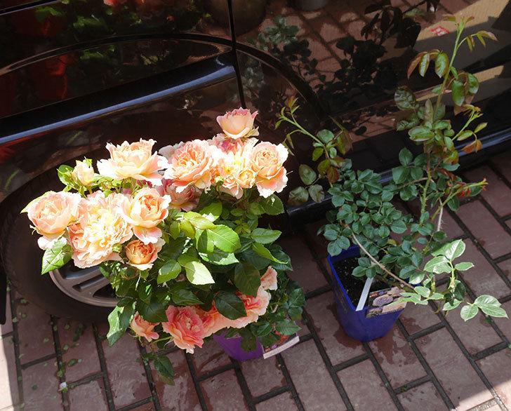 バラの開花苗(鉢植え苗)と大苗(鉢植え苗)をはなはなショップ買った。2020年-006.jpg