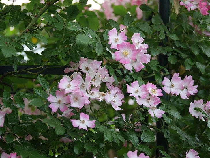 バレリーナ(Ballerina)の花がたくさん咲いた。半ツルバラ。2020年-001.jpg