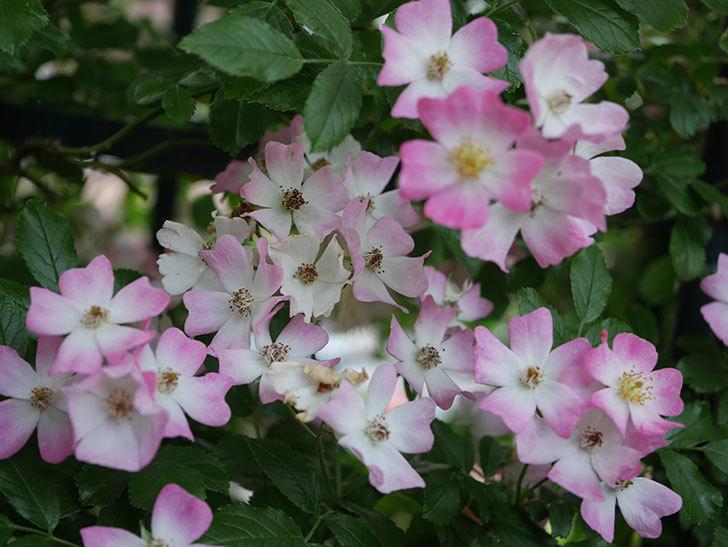 バレリーナ(Ballerina)の花がたくさん咲いた。半ツルバラ。2020年-004.jpg