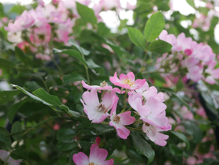 バレリーナ(Ballerina)の花がたくさん咲いた。半ツルバラ。2020年-005.jpg