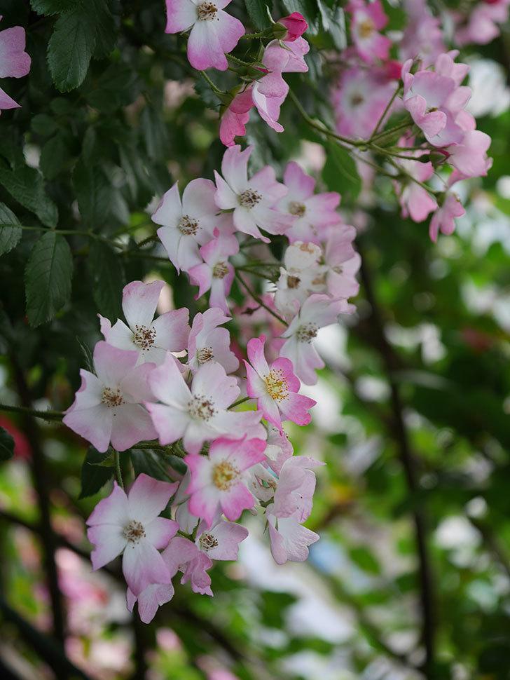 バレリーナ(Ballerina)の花がたくさん咲いた。半ツルバラ。2020年-006.jpg