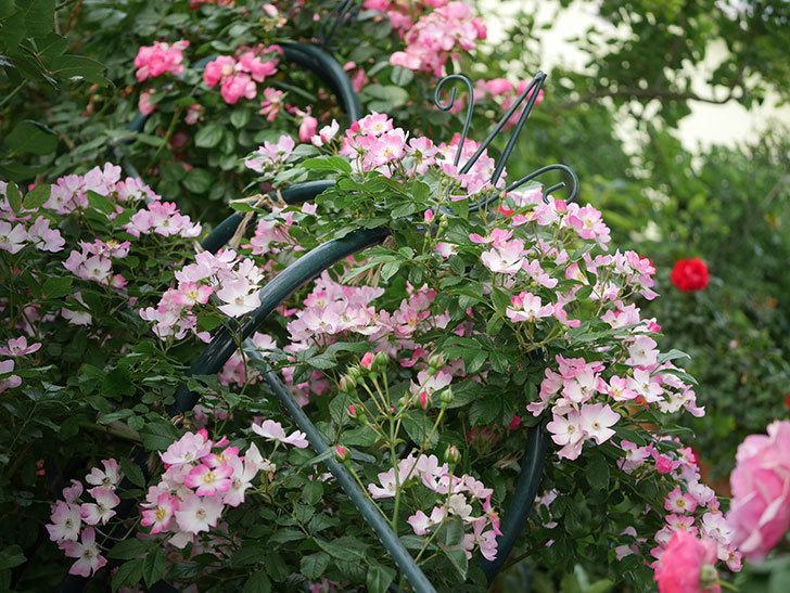 バレリーナ(Ballerina)の花がたくさん咲いた。半ツルバラ。2020年-008.jpg