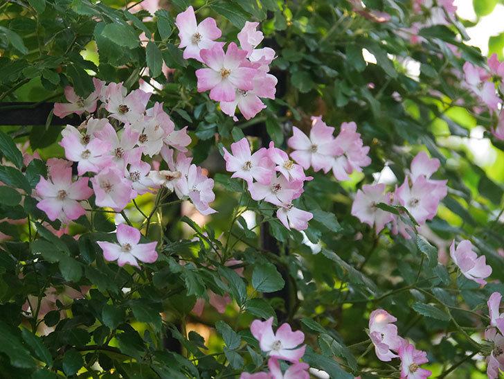 バレリーナ(Ballerina)の花がたくさん咲いた。半ツルバラ。2020年-011.jpg
