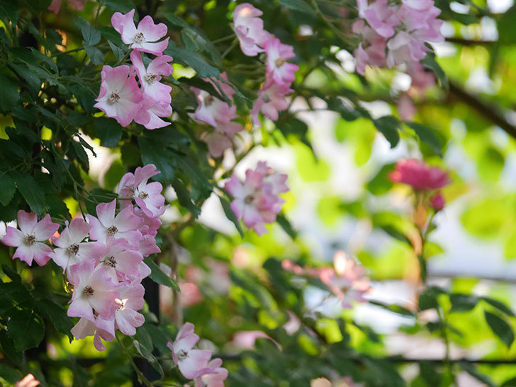 バレリーナ(Ballerina)の花がたくさん咲いた。半ツルバラ。2020年-012.jpg