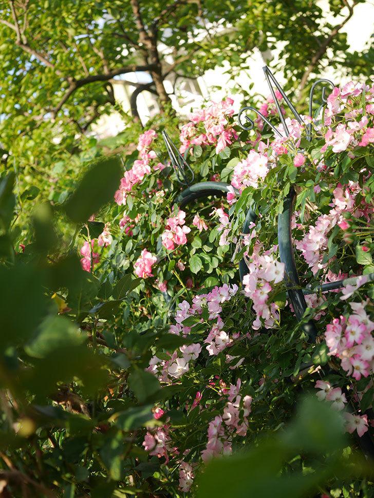 バレリーナ(Ballerina)の花がたくさん咲いた。半ツルバラ。2020年-016.jpg