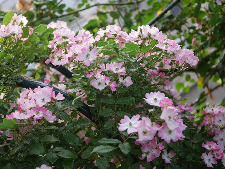 バレリーナ(Ballerina)の花がたくさん咲いた。半ツルバラ。2020年-021.jpg