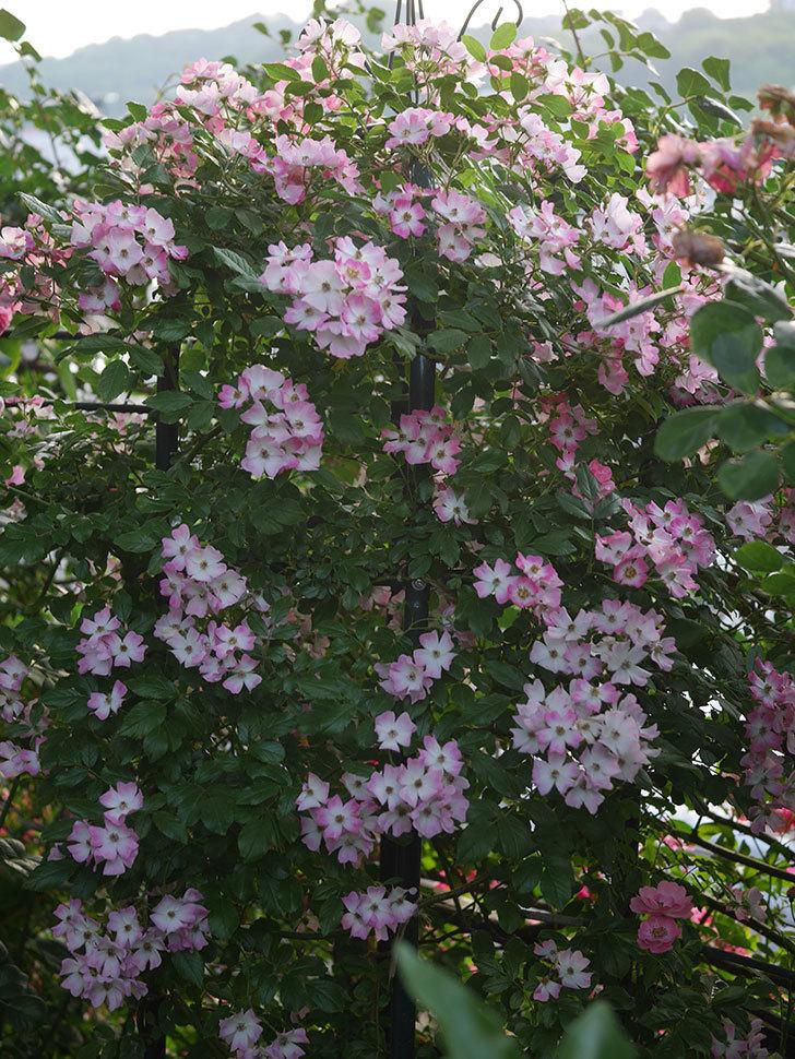 バレリーナ(Ballerina)の花がたくさん咲いた。半ツルバラ。2020年-022.jpg