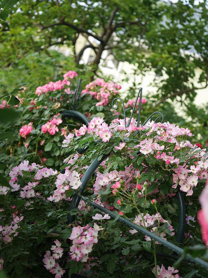 バレリーナ(Ballerina)の花がたくさん咲いた。半ツルバラ。2020年-024.jpg