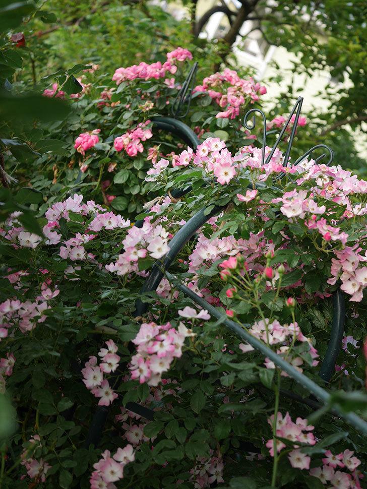 バレリーナ(Ballerina)の花がたくさん咲いた。半ツルバラ。2020年-025.jpg