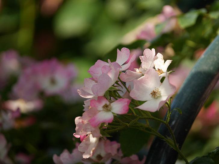 バレリーナ(Ballerina)の花がたくさん咲いた。半ツルバラ。2020年-028.jpg