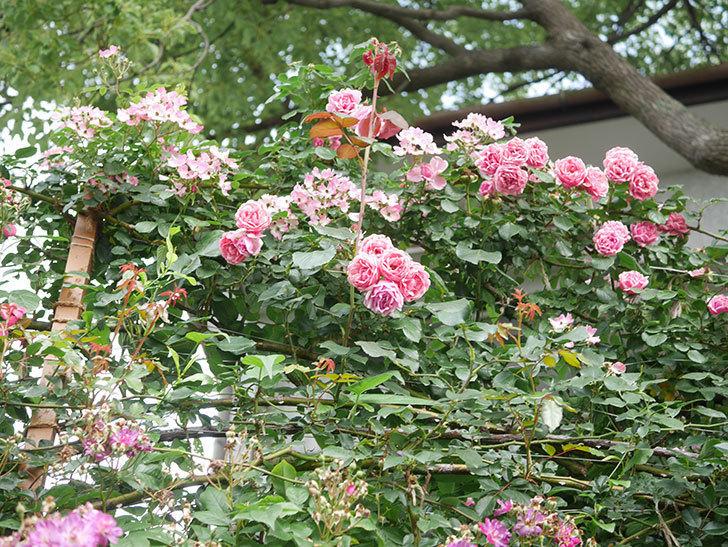 バレリーナ(Ballerina)の花がたくさん咲いた。半ツルバラ。2021年-001.jpg