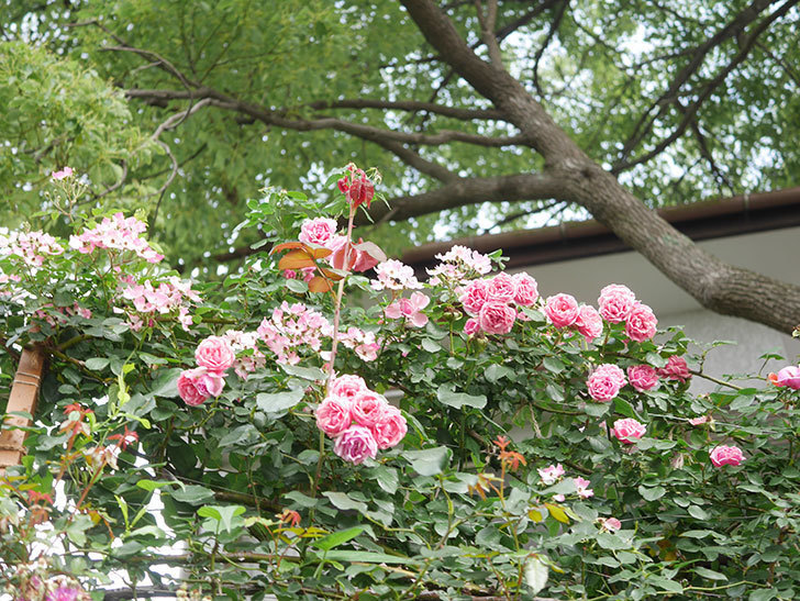 バレリーナ(Ballerina)の花がたくさん咲いた。半ツルバラ。2021年-002.jpg