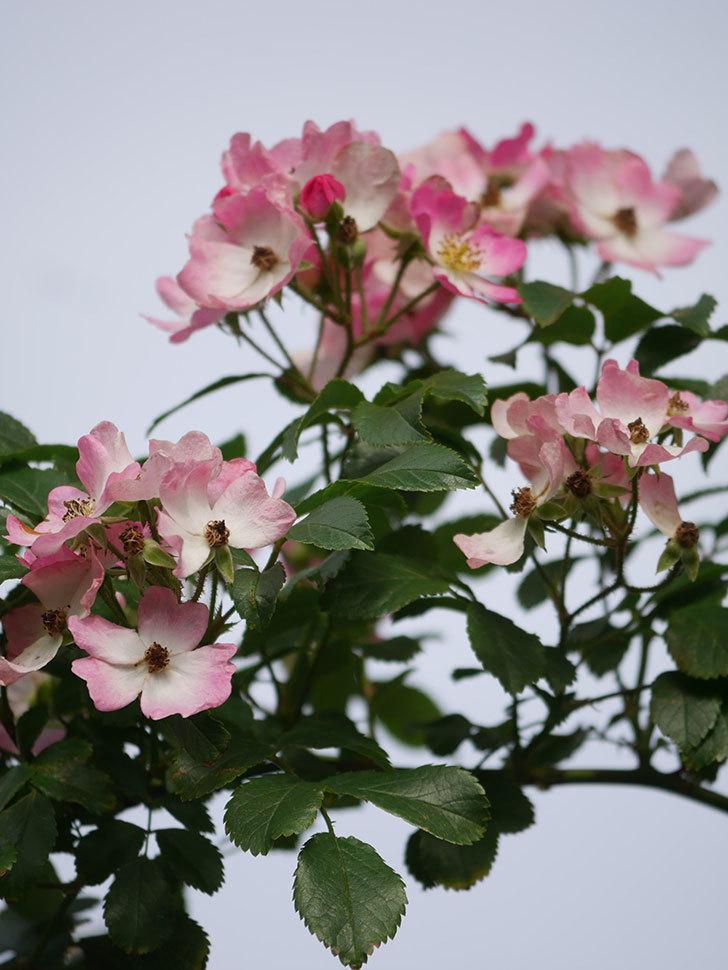 バレリーナ(Ballerina)の花がたくさん咲いた。半ツルバラ。2021年-022.jpg