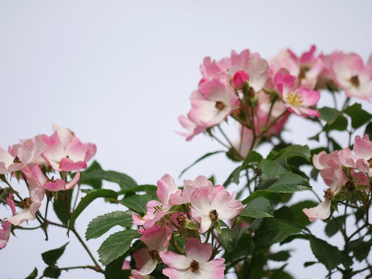 バレリーナ(Ballerina)の花がたくさん咲いた。半ツルバラ。2021年-025.jpg