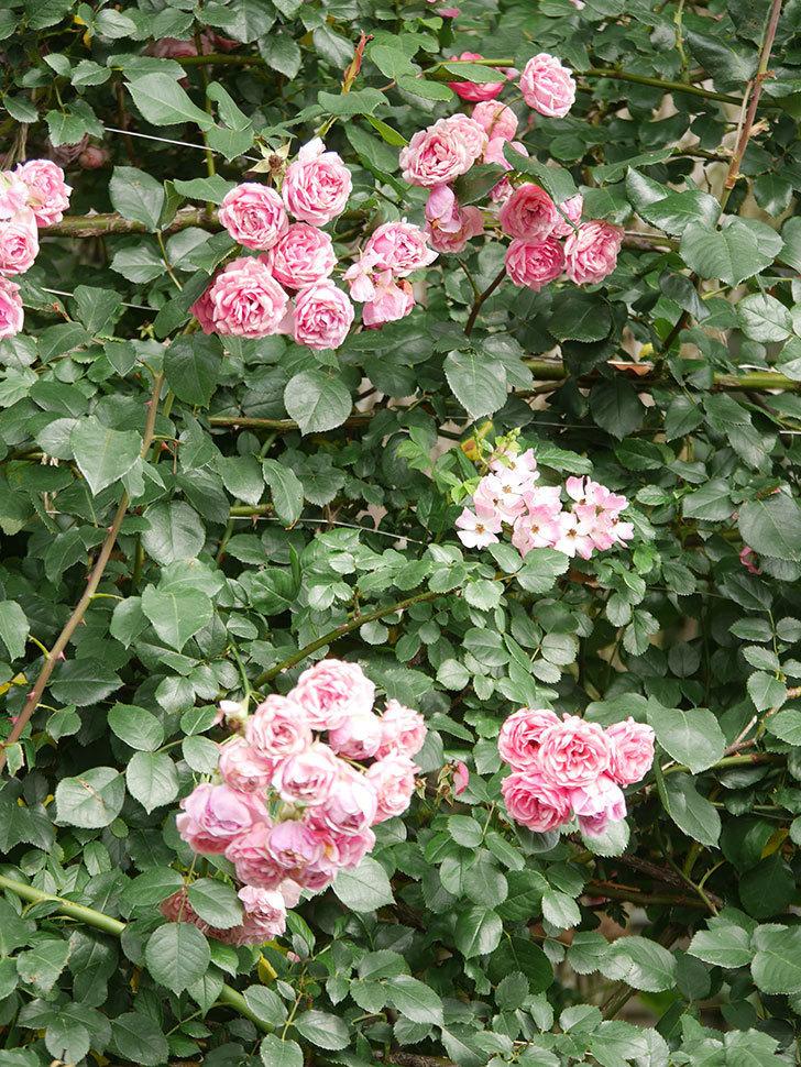 バレリーナ(Ballerina)の花がたくさん咲いた。半ツルバラ。2021年-032.jpg
