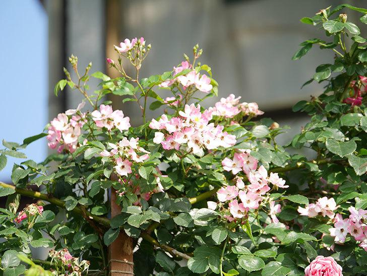 バレリーナ(Ballerina)の花がたくさん咲いた。半ツルバラ。2021年-033.jpg