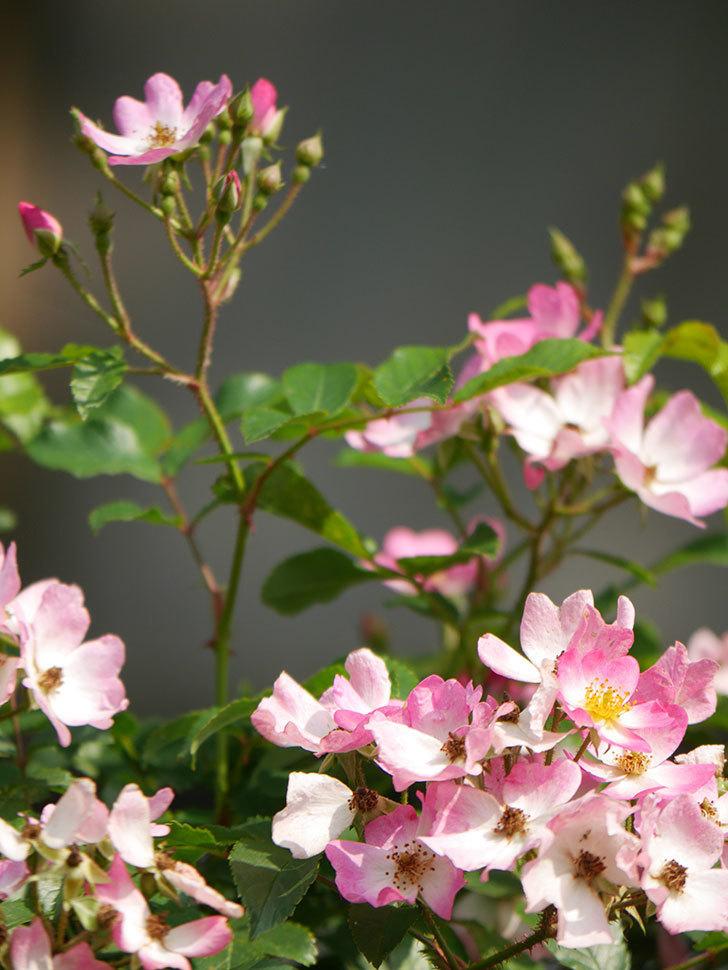 バレリーナ(Ballerina)の花がたくさん咲いた。半ツルバラ。2021年-037.jpg