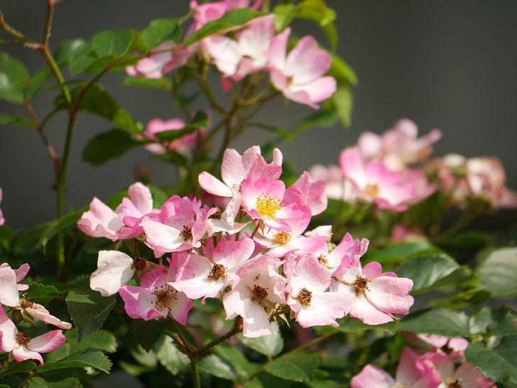 バレリーナ(Ballerina)の花がたくさん咲いた。半ツルバラ。2021年-040.jpg