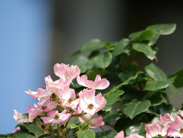 バレリーナ(Ballerina)の花がたくさん咲いた。半ツルバラ。2021年-041.jpg