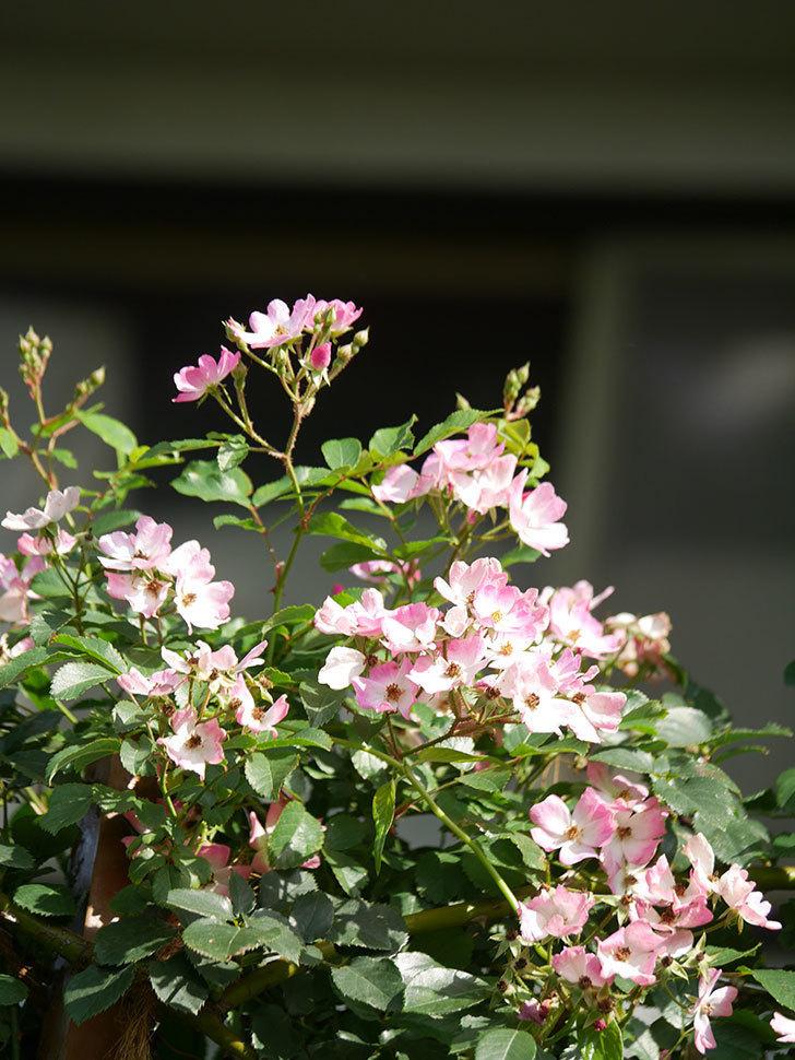 バレリーナ(Ballerina)の花がたくさん咲いた。半ツルバラ。2021年-045.jpg