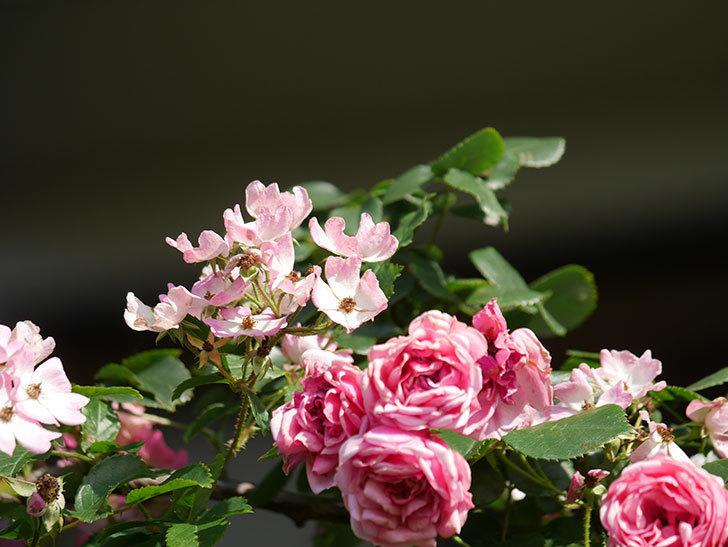 バレリーナ(Ballerina)の花がたくさん咲いた。半ツルバラ。2021年-047.jpg