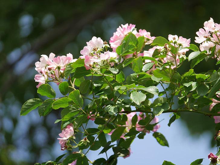 バレリーナ(Ballerina)の花がたくさん咲いた。半ツルバラ。2021年-051.jpg