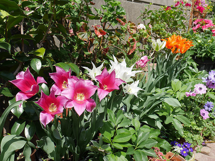 バレリーナ(チューリップ)の花がたくさん咲いた。2018年-17.jpg