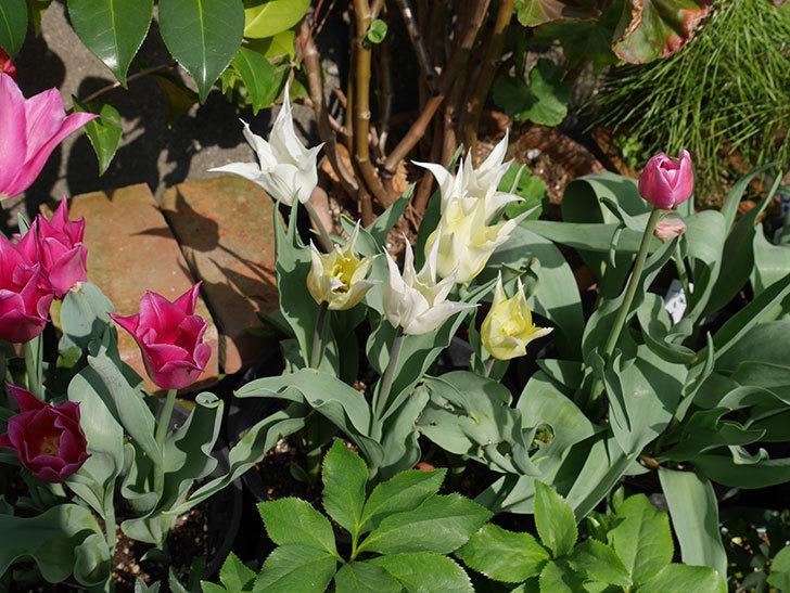 バレリーナ(チューリップ)の花が咲いた。2018年-11.jpg