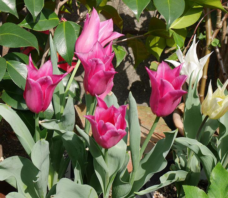 バレリーナ(チューリップ)の花が咲いた。2018年-8.jpg