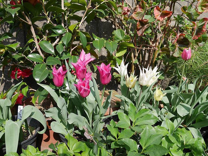 バレリーナ(チューリップ)の花が咲いた。2018年-9.jpg